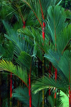 tropical garden Cyrtostachys renda, also known by the common names red sealing wax palm and lipstick palm, is a palm that is native to Thailand, Malaysia, Sumatra and Borneo.