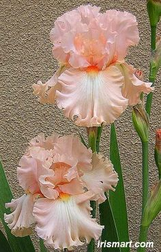 kitty kay iris - tall bearded iris for sale reblommer irises on sale - Tree Varieties Photo Iris Flowers, Exotic Flowers, Real Flowers, Amazing Flowers, Planting Flowers, Beautiful Flowers, Flowers For Sale, Iris Garden, Garden Art