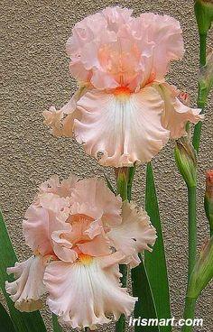 kitty kay iris - tall bearded iris for sale reblommer irises on sale - Tree Varieties Photo