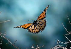Monarch Butterfly In Flight by Stephen Dalton