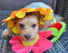 #sunflower dogs, designer dogs, Yorkipoo, yorkie poo, sunflower, dog hat, dog costume