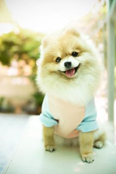Dog pomeranian smiling by Pattarawat on Cute Puppies, Cute Dogs, Pastel Shirt, Pomeranian, Corgi, Fox, Smile, Animals, Doggies