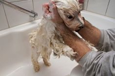 Grooming Havanese dogs is very important to keep their wavy, flowing coat as it is. Before you bring home a Havanese dog, keep in mind… Havanese Haircuts, Havanese Grooming, Dog Haircuts, Dog Grooming Tips, Havanese Puppies, Homemade Dog Shampoo, Dog Care, Cute Dogs, Awesome Dogs