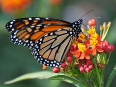 RESEARCHERS: GM CROPS ARE KILLING MONARCH BUTTERFLIES, AFTER ALL | As farmers regularly doused ever-expanding swaths of land with Roundup without having to worry about the hurting their crops, milkweed no longer thrived—and as a result, the charismatic butterfly whose caterpillars require it can no longer thrive, either.