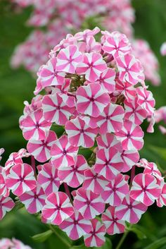 This flower is the inspiration for a quilter's pinwheel block. Phlox paniculata 'Natascha'. #Design #Quilting #Inspiration www.marycoveydesigns.com