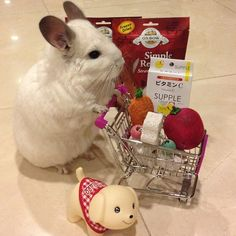 THIS CHINCHILLA IS PUSHING A SHOPPING CART. | This Is The Most Important Chinchilla On Instagram Right Now