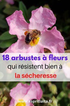 Ma sélection d'arbustes à fleurs qui résistent à la sécheresse - 18 arbustes pour un jardin fleuri même pendant ou après une période de sécheresse. Le climat évolue au nord de la Loire et on ne peut plus se permettre de planter des hortensias partout. J'ai donc cherché des arbustes qui me permettent d'avoir des fleurs au jardin, surtout en été, sans être obligée de les arroser pour qu'ils survivent. A lire sur le Blog 😊