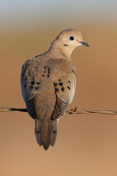The basic ingredients for a good dove field are no secret.