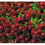 Sedum Globosum 'Old Man's Bones' Common Name: stonecrop Zones 5 to Full sun. Ground Cover Plants, Zone 5, Common Names, Day Lilies, Old Men, Succulents Garden, Cacti, Yellow Flowers, Perennials