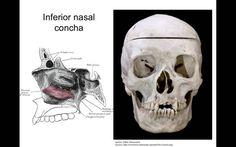Facial bones - anatomy tutorial