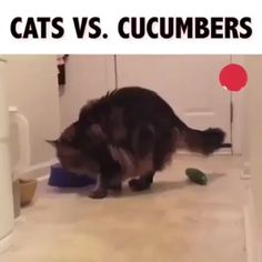 cat vs concumber