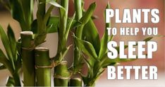 12 Plants For Your Bedroom That Will Improve Sleep Quality And Cure Insomnia - Cures House Treating Insomnia, Insomnia Help, Insomnia Causes, Anxiety Causes, Stress And Depression, Juicing For Health, Sleep Quality, Relaxation Techniques