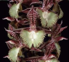 Orchid: Catasetum 'Frilly Doris' - Sunset Valley Orchids