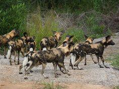 African Wild Dog Pack. #LionWorldTales #WildDog #Travel #Africa #Safari #Animals #DidYouKnow #FunFacts