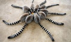 Funny pictures about A Circle Of Ring Tailed Lemur. Oh, and cool pics about A Circle Of Ring Tailed Lemur. Also, A Circle Of Ring Tailed Lemur photos. Qingdao, Save Animals, Animals And Pets, Funny Animals, Animals Photos, Wild Animals, Giant Animals, Cutest Animals, Primates