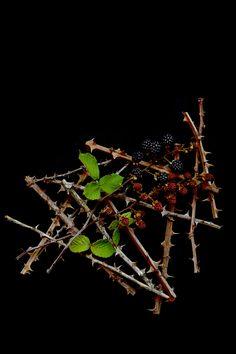 wild blackberries | STILL (mary jo hoffman)