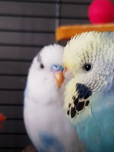 Pietje & Wolkje ♡ Budgies Parrot, Budgie Parakeet, Parakeets, Beautiful Birds, Animals Beautiful, Bird Pictures, Cute Pictures, Australian Parrots, Baby Animals