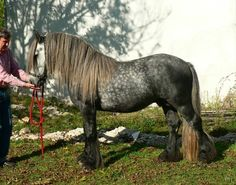 This Noriker is absolutely stunning. Most Beautiful Animals, Beautiful Horses, Beautiful Creatures, Beautiful Things, Pony Breeds, Horse Breeds, Clydesdale, Fell Pony, Horse Dance