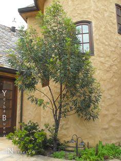 The Fernleaf Catalina Ironwood -- Yerba Buena Nursery  Good coastal native tree