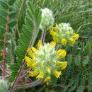 Astrágalo, una planta medicinal para enfermedades crónicas que da vitalidad y fortalece el sistema inmunológico ecoagricultor.com