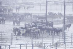 BLM Rejects Offer of Wind Protection for Corralled Wyoming Mustangs
