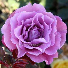 Angel Face - Treloar Roses - Premium Roses For Australian Gardens. Fragrant deep mauve double flowers with wavy petals.