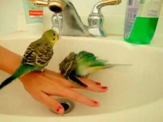 Parakeets bath Time that's how you \\spoil\\ the bird w\\\/ <3