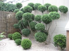 "Cloud Pruning ""The owner of the garden has turned one shrub into several small balls. It took him 6 years to achieve this."""