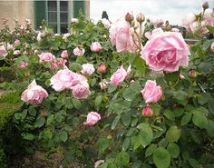 garden of roses - Florence