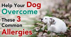 Dog allergies like flea allergy dermatitis, environmental allergies, and food allergies occur among sensitive dogs but can be treated through simple solutions. http://healthypets.mercola.com/sites/healthypets/archive/2011/09/15/help-your-dog-overcome-these-common-allergies.aspx