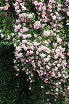 splashesofjoy:  I love climbing roses..one day I will have a rose-covered cottage!!