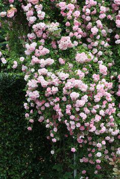 splashesofjoy:  I love climbing roses..one day I will have a rose-covered cottage!!