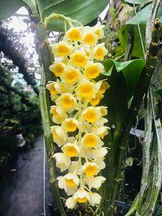 Dendrobium Orchids, Fruit, Plants, Plant, Planets