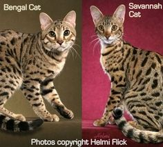 What is the difference between the Bengal cat and the Savannah cat? Wow! I've never heard of the newer Savannah breed! NBKJ