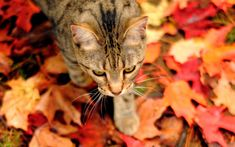 My neighbor's cat Molly.loves the leaves. :) Even cats love the fall! Looks very cool on black! Autumn Trees, Autumn Leaves, Fallen Leaves, Red Leaves, Hd Wallpaper, Wallpapers, Son Chat, Sleepy Cat, Cat Walk