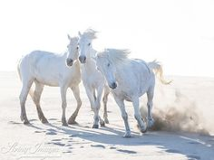 "Carol Walker  @wild_hoofbeats  http://ift.tt/1ru0Mra  http://ift.tt/1MXXiEF  http://ift.tt/2kC6sjw ""Three Play on the Beach"" #horses #wildhorses #wildhoofbeats #camarguehorses #livingimages #visualsoflife #womeninphotography #inspiration #photo #photos #pic #pics #picture #photographer #pictures #art #beautiful #photoshoot #photodaily #nature #photography #peoplescreatives"