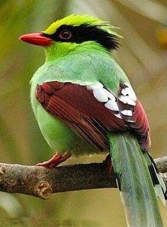 Vtáky v Thajsku : Japonský biely-oko ..... Modrá Waxbill, tiež volal Blue- breasted Cordon-bleu, je len bežné druhy astrildovité nájdené v južnej Afrike.
