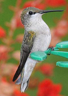 Ruby-throated Hummingbird by Linda Konz