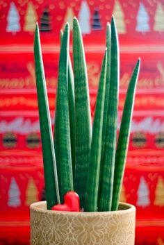 Nome Científico: Sansevieria cylindrica. A lança de São Jorge é muito utilizada por sua praticidade e durabilidade. Fina e cônica, essa espécie não exige muitos cuidados e pode ser usada em ambientes com ar condicionado.  Fotografia: Getty Images.