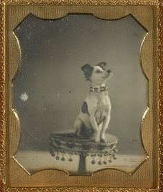 Dog Sitting on a Table (Getty Museum), American, about 1854   Hand-colored daguerreotype, 2 11/16 x 2 1/4 in.
