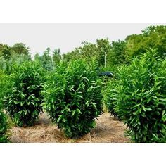 Dark green beautiful Skip Laurel plants are able to make your garden flourish. Skip laurel plants are easy to prune or trim and it is easily grown in any kind of soil. Bay Gardens offers beautiful kinds of skip laurel plants for decorating your garden as well as keeping privacy in a garden.