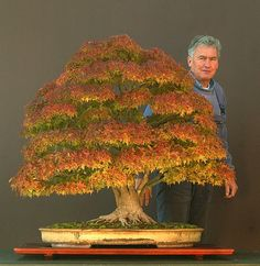 Man and his bonsai. Another look at the Sycamore Maple that won the Bonsai Today / Art of Bonsai Photo Contest.