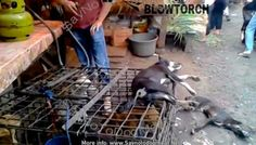 INDONESIA, VIDEO –LIVING  DOGS SET ON FIRE ON TOP OF TERRIFIED LIVE CAGE MATES!