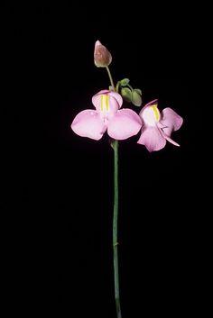 Utricularia reniformis