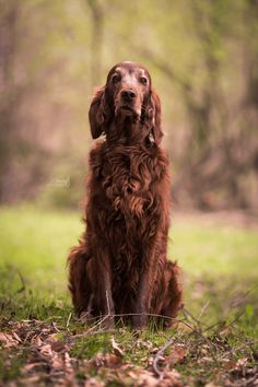 Irish Setter - Hundefotografie - Outdoor Shooting