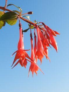 Fuchsia fulgens Easy Care Plants, Planting Flowers, Warm, Garden, Outdoor Decor, Princess, Flowers, Garten, Gardens