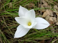 Bloom for Mar. 14, 2012 is giant rain lily (Zephyranthes drummondii). Photo by htop.