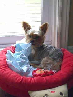 Morkie Bailey : just me and my blankey