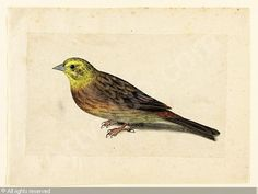 Study of a yellowhammer by Jacques le Moyne de Morgues.  Jacques le Moyne de Morgues (c. 1533–1588) was a French artist and member of Jean Ribault's expedition to the New World. Le Moyne ended his career as a highly regarded botanical artist in Elizabethan London.