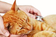 #¿Los gatos pueden tener hipertensión? - Así Sucede (blog): Así Sucede (blog) ¿Los gatos pueden tener hipertensión? Así Sucede (blog) gato…